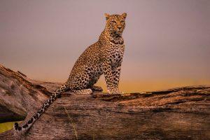 Derriere l-objectif avec Tony Crocetta - Rever le leopard - BLOG