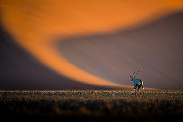 Oryx boréal - Alex Méaux